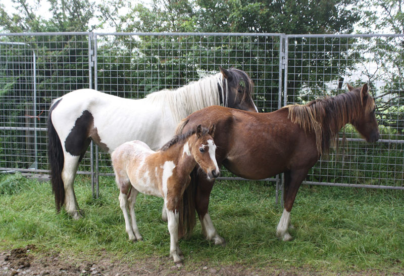 The horses were rounded up before being transported to their new homes