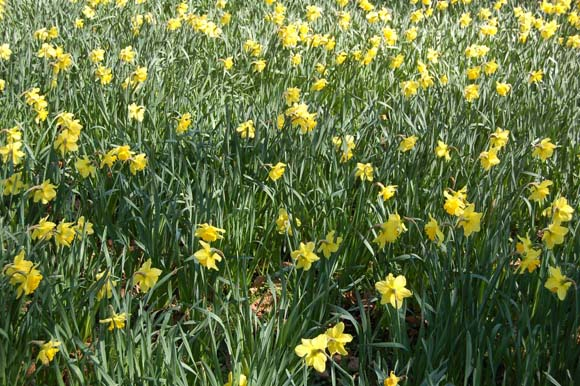 daffodils-580